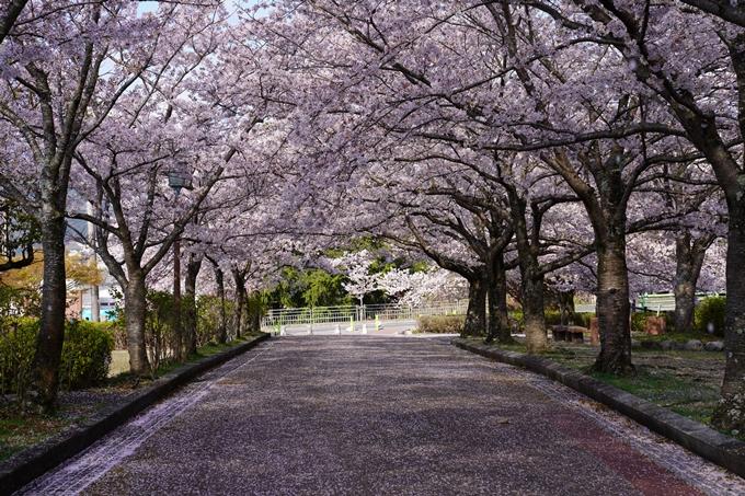京都_桜_2020_43 七谷川 No69