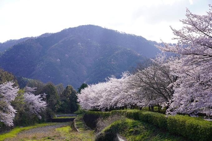 京都_桜_2020_43 七谷川 No72