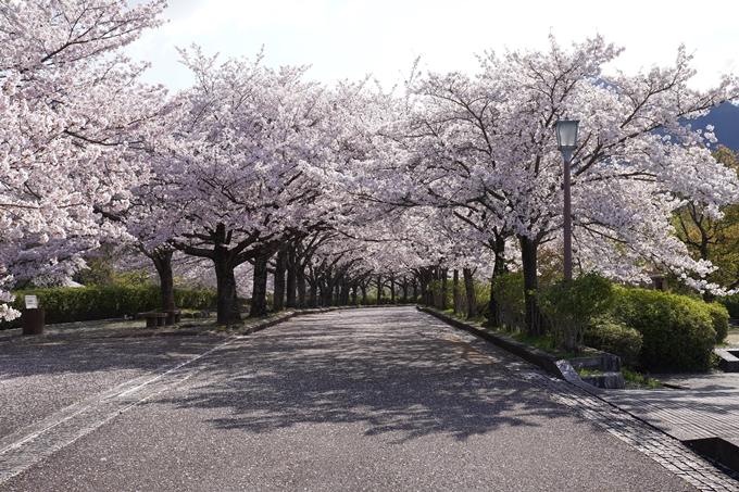 京都_桜_2020_43 七谷川 No74