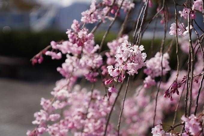 京都_桜_2020_43 七谷川 No75