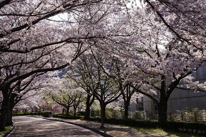 京都_桜_2020_43 七谷川 No76