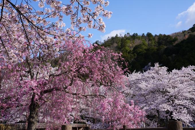 京都_桜_2020_43 七谷川 No80