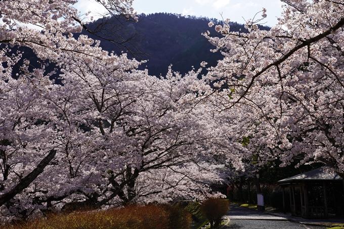 京都_桜_2020_43 七谷川 No81