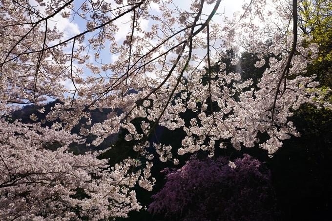 京都_桜_2020_43 七谷川 No82