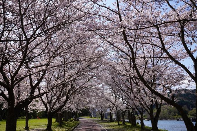 京都_桜_2020_44 大堰川緑地公園 No3