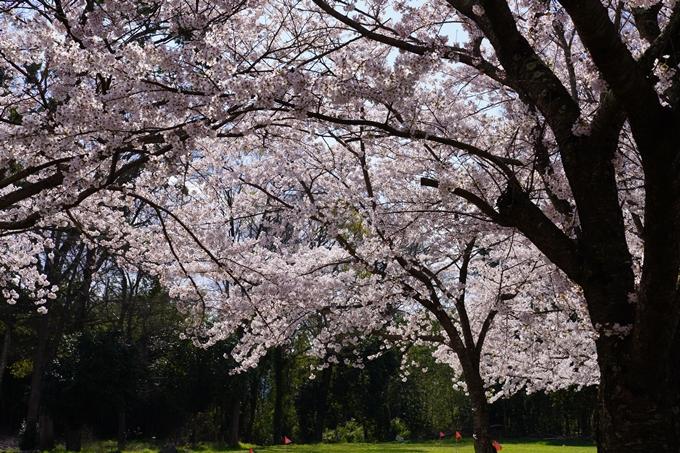 京都_桜_2020_44 大堰川緑地公園 No4