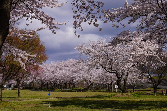 京都_桜_2020_44 大堰川緑地公園 No5