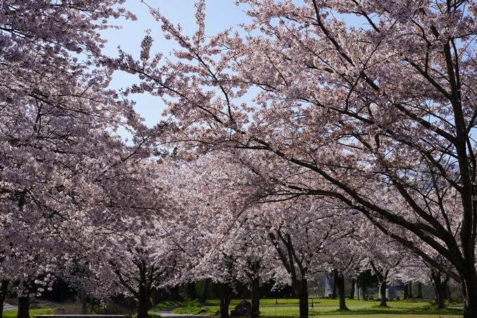 京都_桜_2020_44 大堰川緑地公園 No7