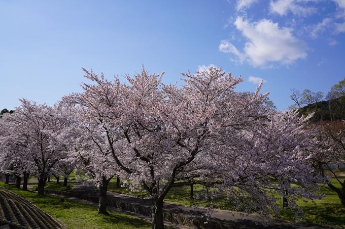 京都_桜_2020_44 大堰川緑地公園 No8