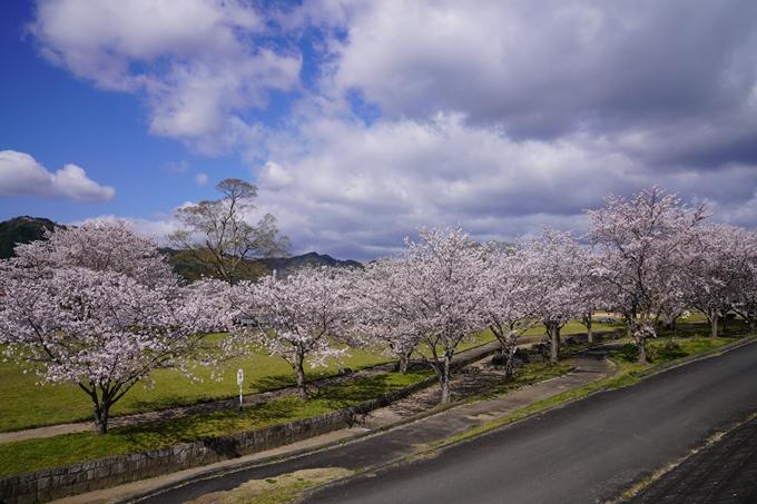 京都_桜_2020_44 大堰川緑地公園 No9
