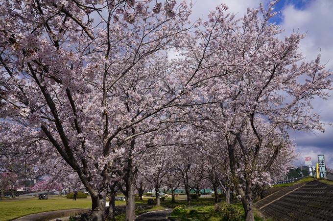 京都_桜_2020_44 大堰川緑地公園 No12