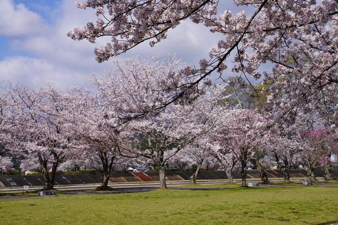 京都_桜_2020_44 大堰川緑地公園 No13
