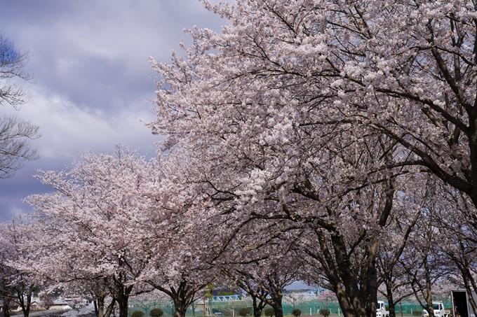 京都_桜_2020_44 大堰川緑地公園 No14