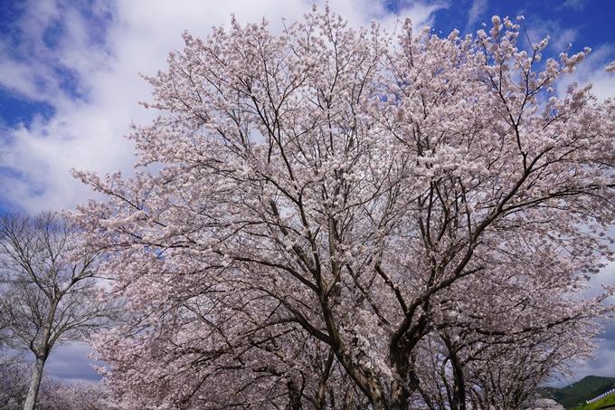 京都_桜_2020_44 大堰川緑地公園 No15