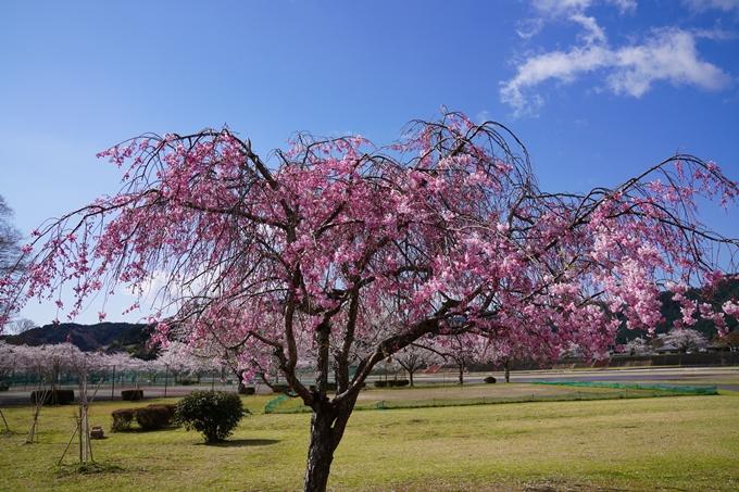 京都_桜_2020_44 大堰川緑地公園 No17