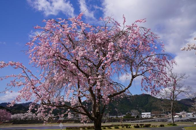 京都_桜_2020_44 大堰川緑地公園 No19