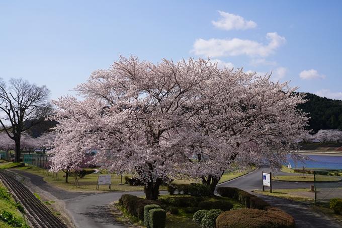 京都_桜_2020_44 大堰川緑地公園 No20