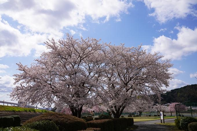 京都_桜_2020_44 大堰川緑地公園 No25