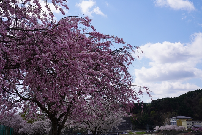 京都_桜_2020_44 大堰川緑地公園 No27