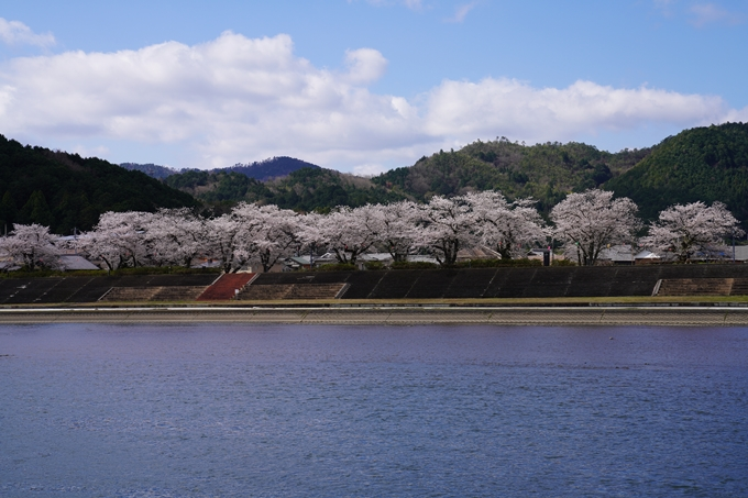 京都_桜_2020_44 大堰川緑地公園 No28