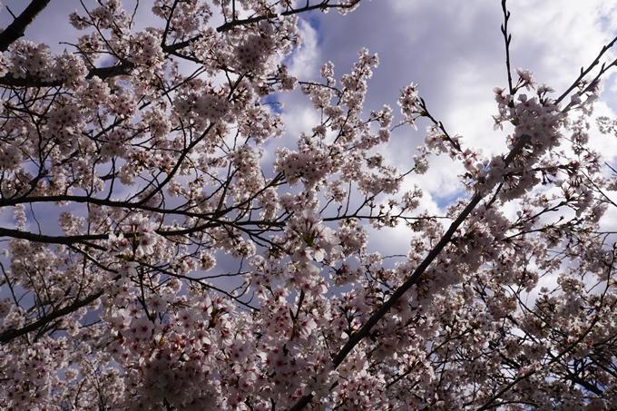 京都_桜_2020_44 大堰川緑地公園 No29
