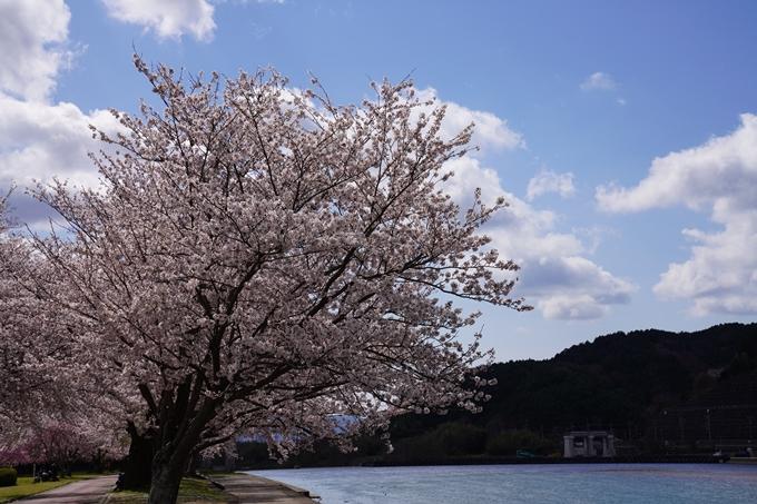 京都_桜_2020_44 大堰川緑地公園 No30