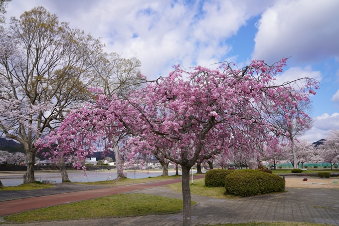 京都_桜_2020_44 大堰川緑地公園 No32