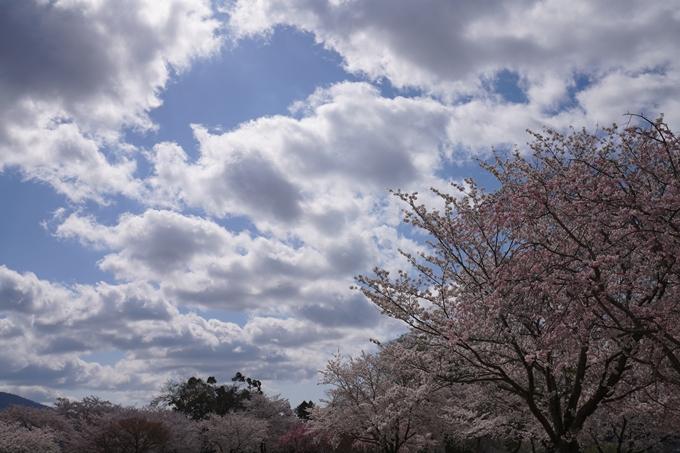 京都_桜_2020_44 大堰川緑地公園 No33
