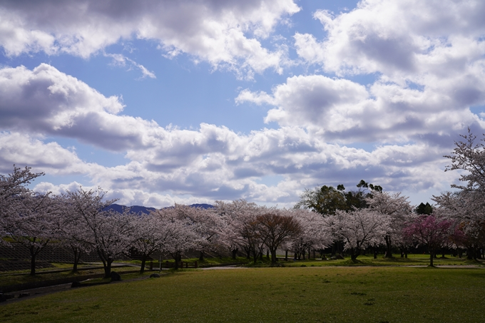京都_桜_2020_44 大堰川緑地公園 No34