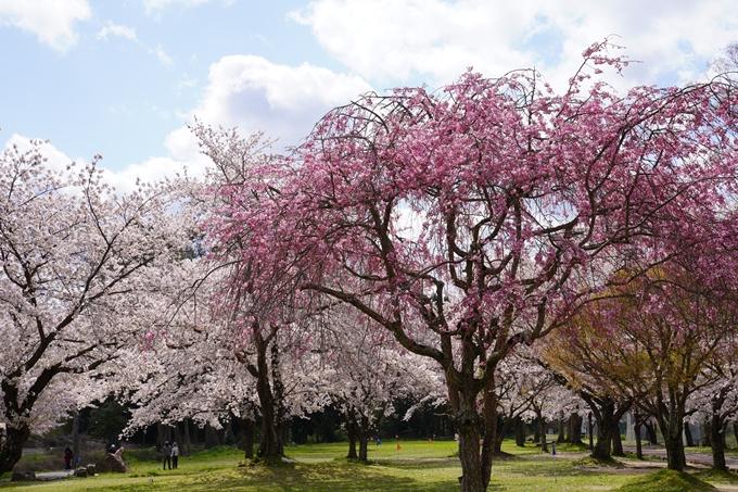 京都_桜_2020_44 大堰川緑地公園 No37