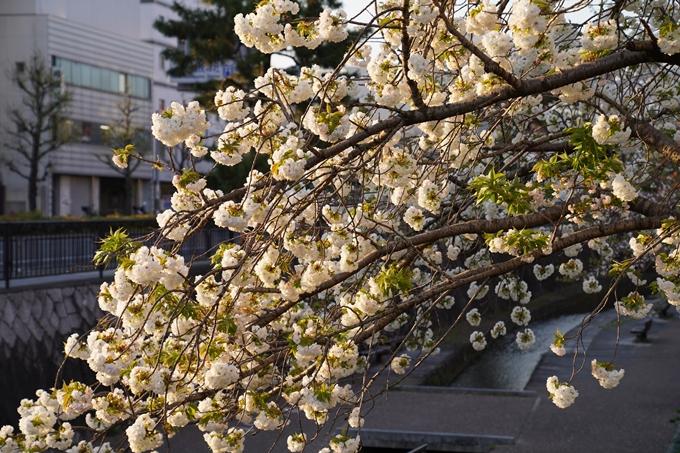 京都_桜_2020_45 堀川 No2