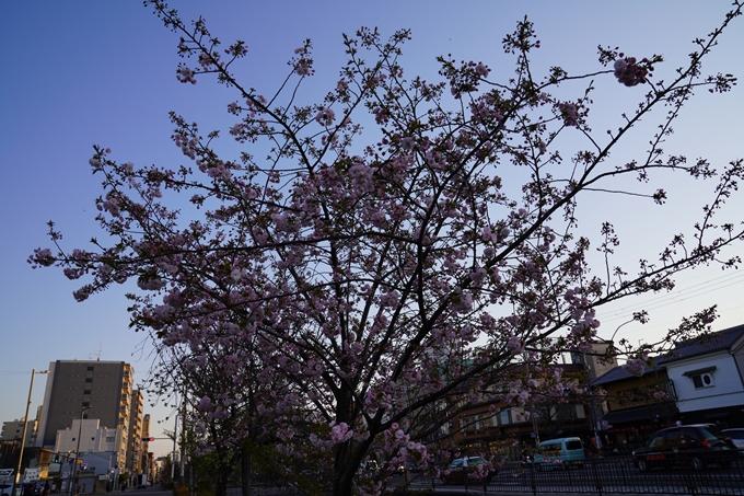 京都_桜_2020_45 堀川 No6
