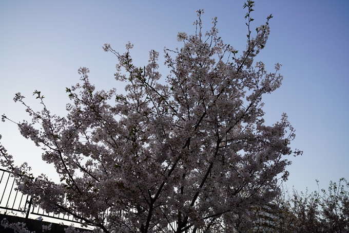 京都_桜_2020_45 堀川 No17