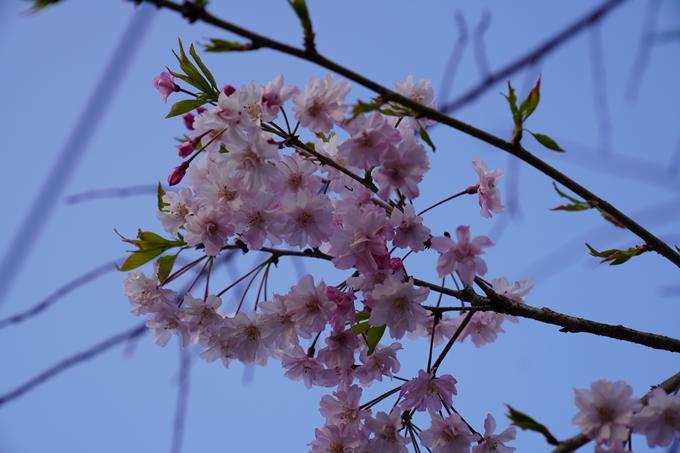 京都_桜_2020_45 堀川 No19