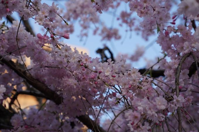 京都_桜_2020_45 堀川 No20