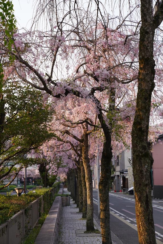 京都_桜_2020_46 裁判所 No5