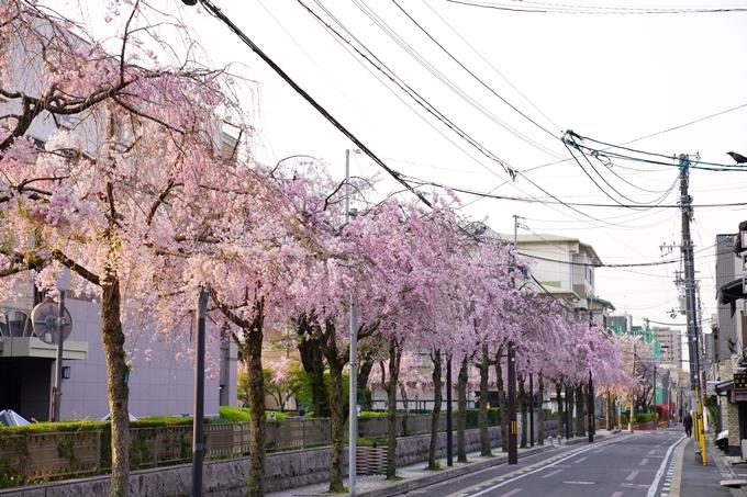 京都_桜_2020_46 裁判所 No6