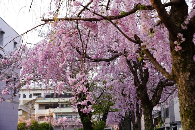京都_桜_2020_46 裁判所 No8