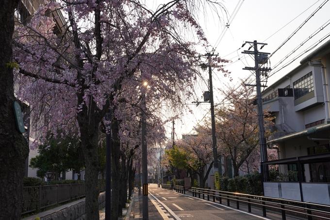 京都_桜_2020_46 裁判所 No11