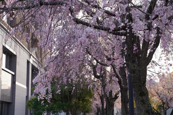 京都_桜_2020_46 裁判所 No12