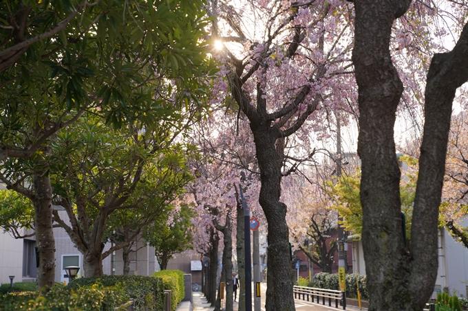 京都_桜_2020_46 裁判所 No13