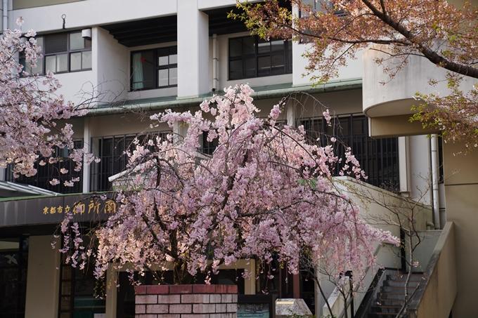 京都_桜_2020_46 裁判所 No14