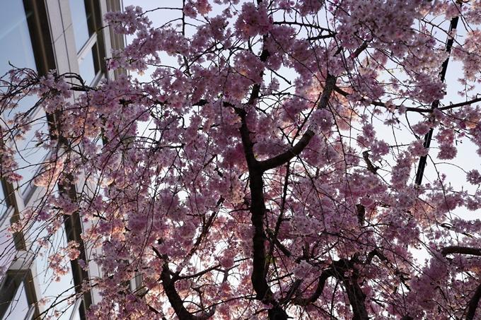京都_桜_2020_46 裁判所 No15