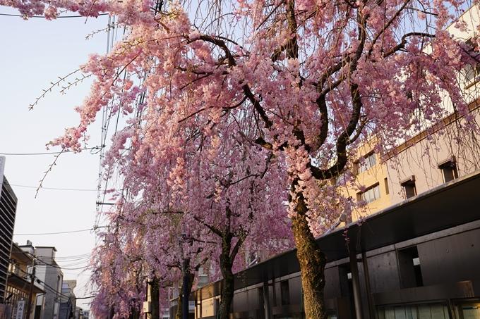 京都_桜_2020_46 裁判所 No19