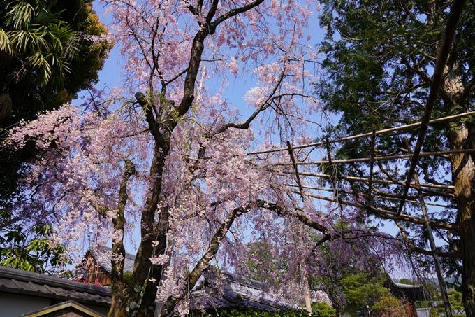 京都_桜_2020_47 永運院 No5