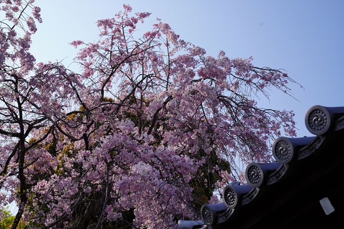京都_桜_2020_47 永運院 No11