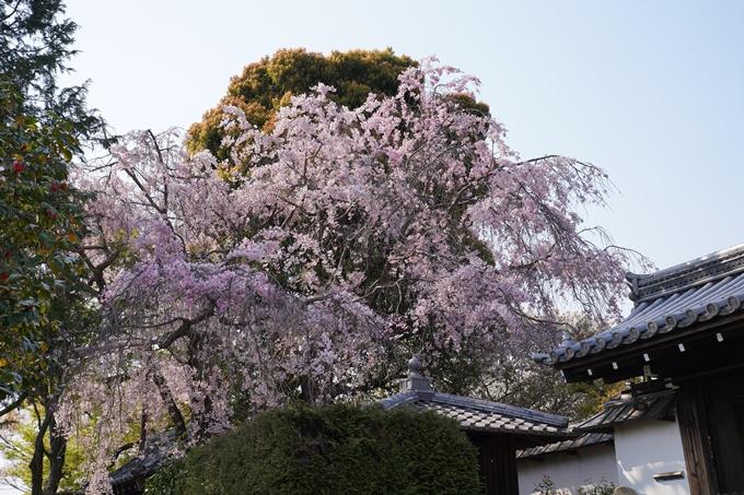 京都_桜_2020_47 永運院 No15