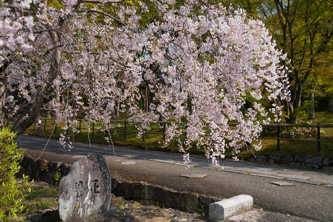 京都_桜_2020_47 永運院 No20