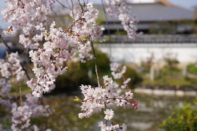 京都_桜_2020_47 永運院 No23