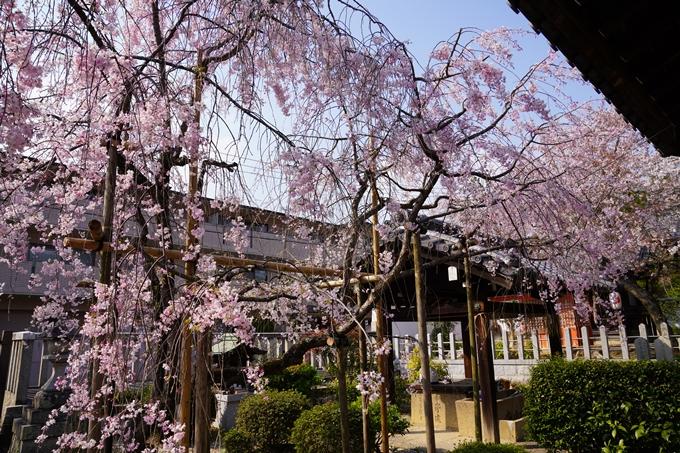 京都_桜_2020_47 永運院 No33